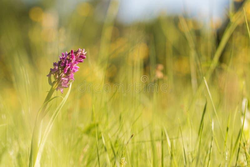 Frühes Sumpforchidee Dactylorhiza incarnata auf einem Morgen sonniges m lizenzfreies stockfoto