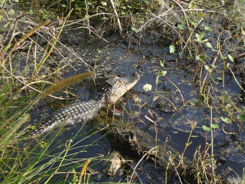 Frühjahr in Louisiana-Sumpfgebieten: Alligator, der einige Sun-Strahlen fängt lizenzfreies stockfoto