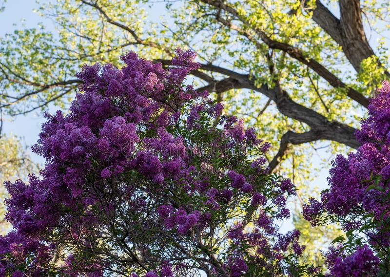 Frühjahr purpurroter Fliederbusch in der Blüte stockbild