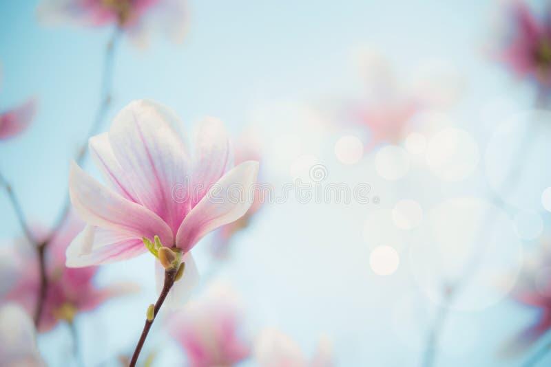 Frühjahrhintergrund Magnolienblüte im Freien an unscharfem Naturhintergrund mit bokeh Naturszene mit Frühlingsblüte exemplar lizenzfreies stockfoto
