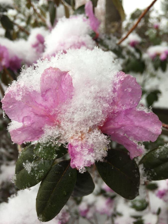 Frühjahrschnee bedeckte azalea-1 stockfotos