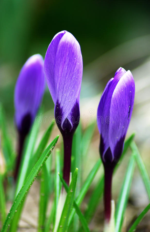 Frühjahrveilchenblumen stockfotografie