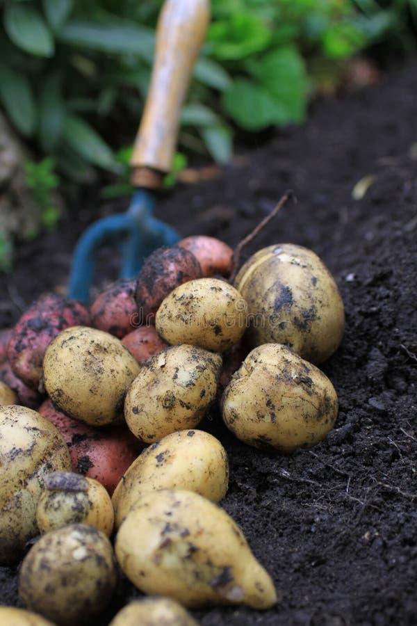 Frühkartoffeln lizenzfreie stockfotos