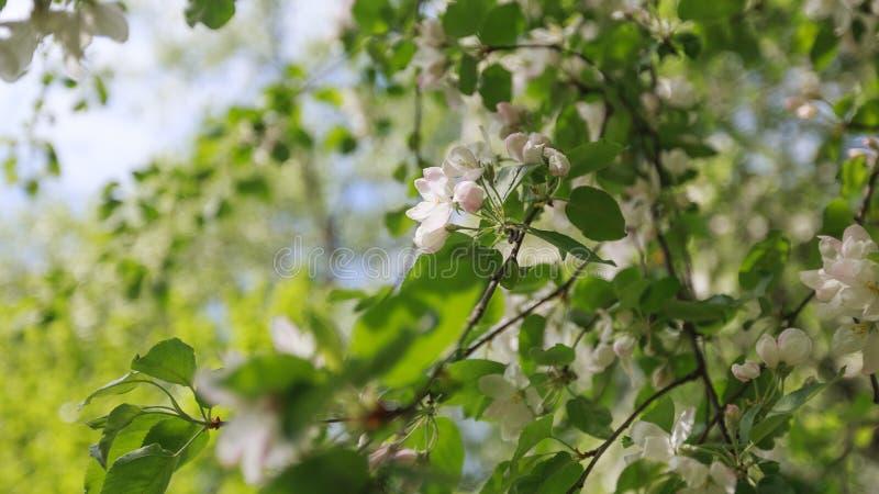 Frühling, Bäume Apple Blüht, Weiß, Rosa Blumensonnenlicht Stockfoto ...