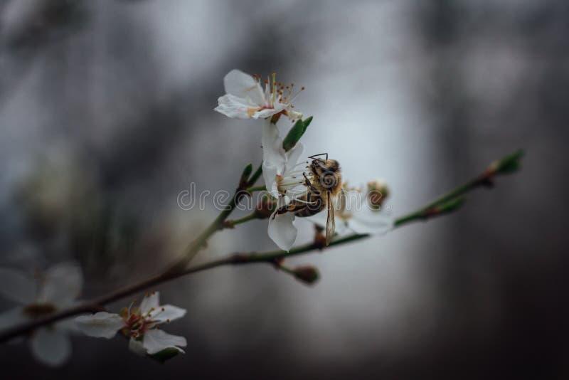 Frühling Biene sammelt Nektarblütenstaub von den weißen Blumen im Frühjahr Biene und weiße Blume mit unscharfem Hintergrund lizenzfreie stockfotografie