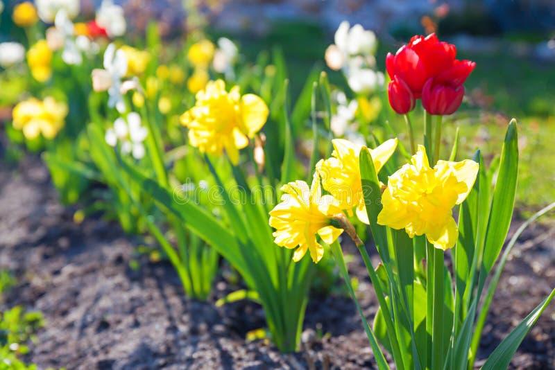 Frühling blüht die Narzissen und Tulpen, die im Garten auf einem flo blühen stockfotografie