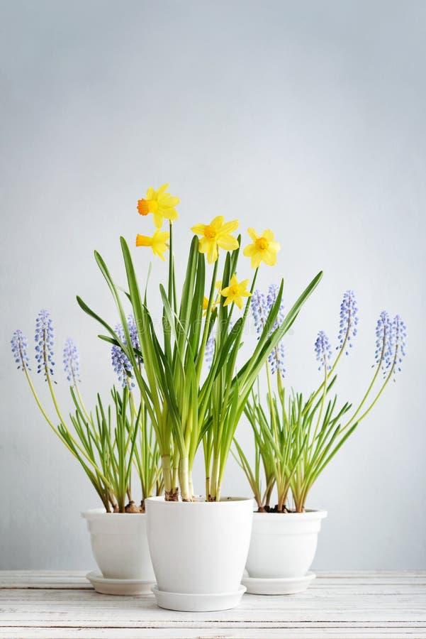 Frühling blüht Narzissen und Muscari lizenzfreies stockfoto