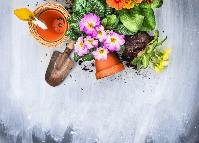 Frühling blüht Potting mit Gartenwerkzeugen, Töpfe und Boden, auf grauem Holztisch stockfotografie