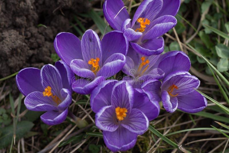 Frühling blüht purpurrote Krokusse stockfoto