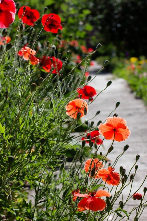 Frühling compostion von den roten Mohnblumen, die nahe der Straße wachsen stockfotografie