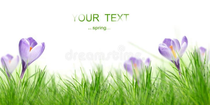 Frühling crocusses lizenzfreie stockfotografie