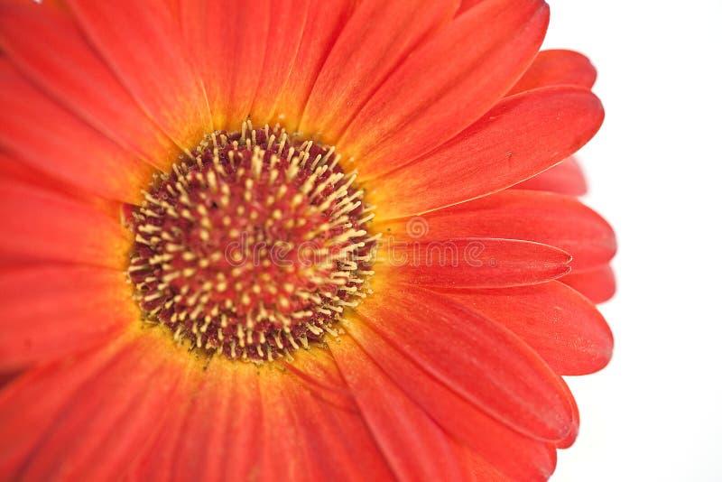 Frühling daisie auf dem weißen Hintergrund lizenzfreies stockbild