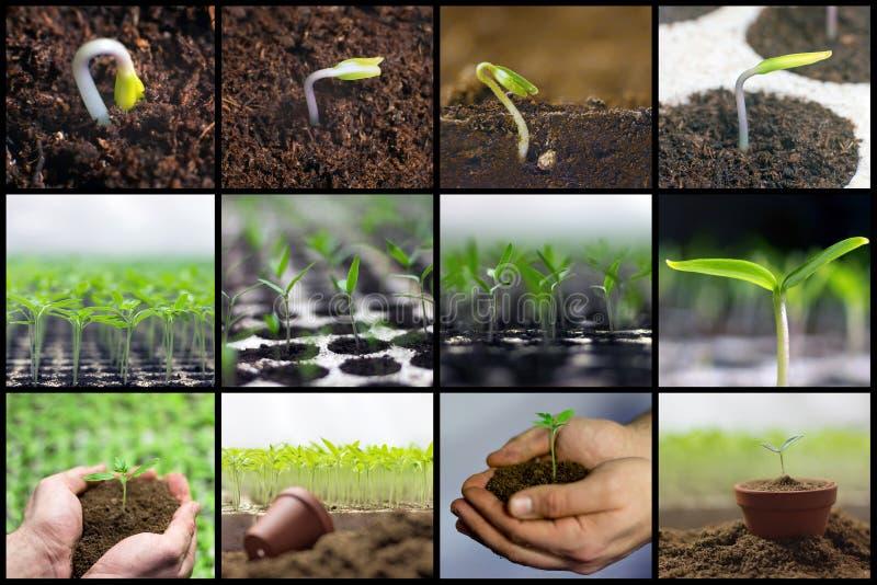 Frühling, der Sämlinge, arbeitend, wachsende Gemüsecollage pflanzt im Garten lizenzfreies stockfoto