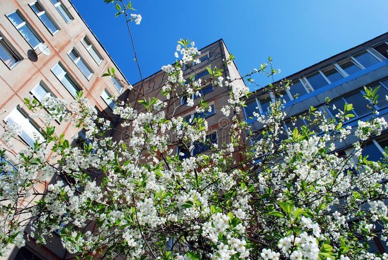 Frühling in der Stadt. Kirschblüte in Vilnius-Stadt. lizenzfreie stockfotografie