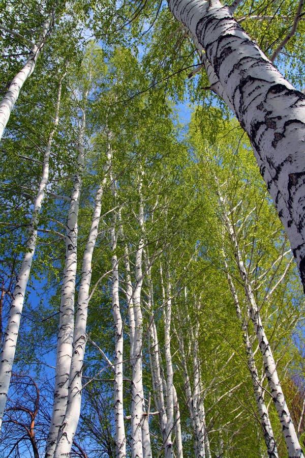 Frühling im Birkenbaumholz stockbild