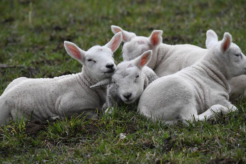 Frühling ist dort für die neugeborenen Lämmer, schließlich draußen stockfotografie