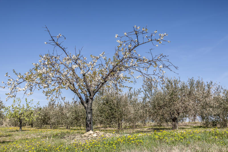 Download Frühling in Istria stockbild. Bild von apfel, laubwechselnd - 27727181
