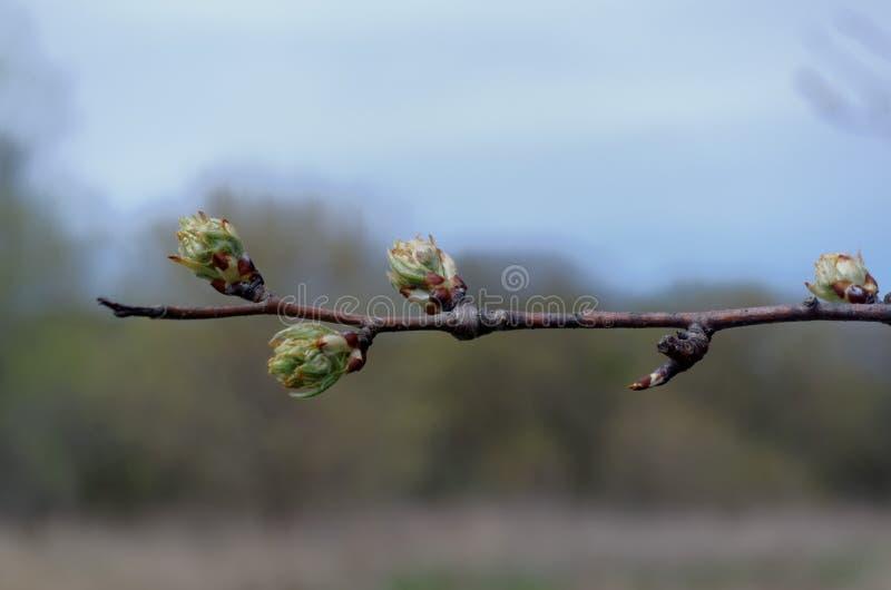Frühling knospt auf einer Niederlassung mit unscharfem Hintergrund lizenzfreie stockfotografie