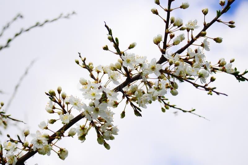 Frühling mit Blumen und kaukasischer Pflaumenblüte stockfotos