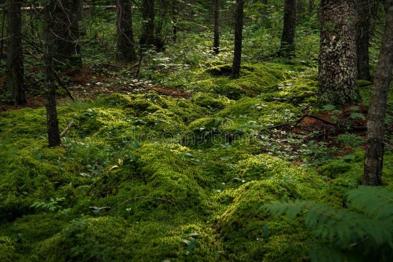 Frühling Moss Forest stockfoto
