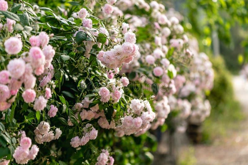 Frühling oder Sommerkonzept Kletternde rosafarbene Blume lizenzfreies stockfoto
