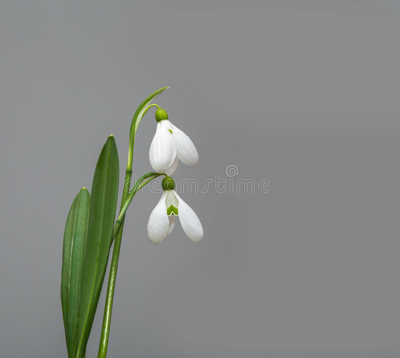 Frühling snowdrop Blume lizenzfreie stockfotografie