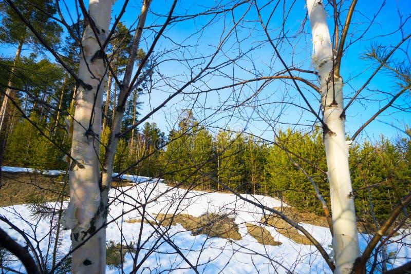 Frühling taute Flecken in der Waldlichtung unter Birken auf lizenzfreie stockfotografie