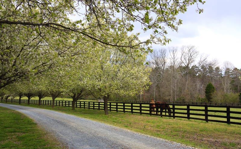 Frühlings-Bäume, die neben Fahrstraße und Pferden blühen lizenzfreie stockfotos