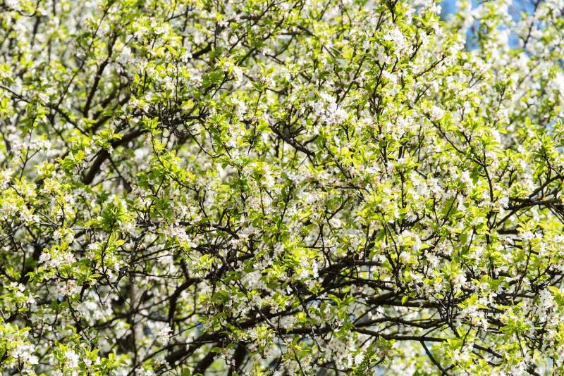 Frühlings-Blüten-Baum-weiße Blumen Stockfoto - Bild von knospe ...