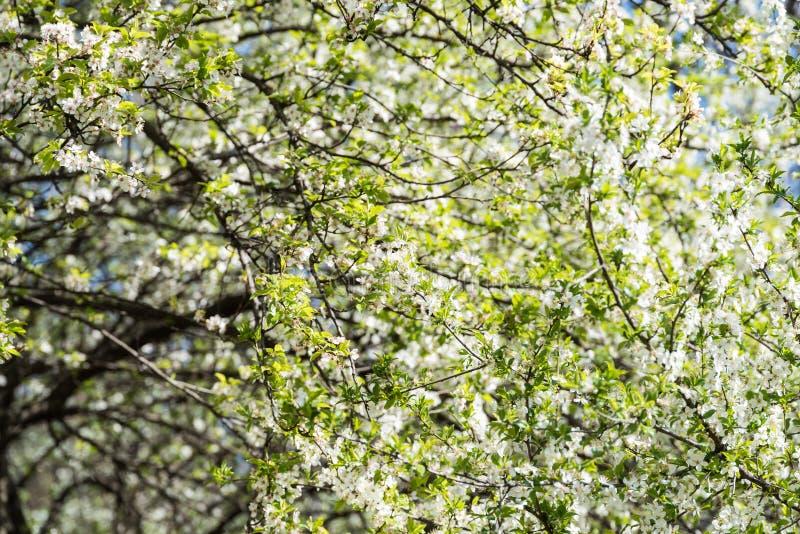 Frühlings-Blüten-Baum-weiße Blumen Stockfoto - Bild von blume ...