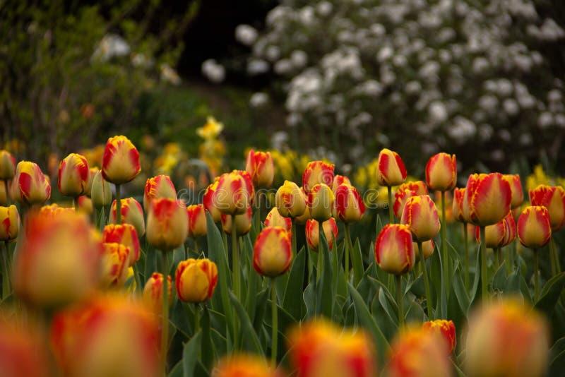 Frühlings-Blumen - Tulpen stockbild