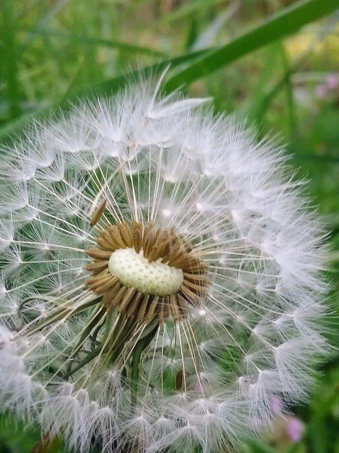 Frühlings-Dandylöwe lizenzfreie stockfotografie