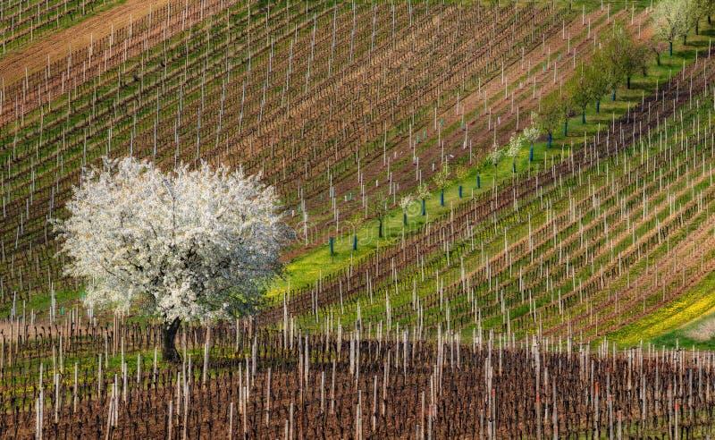 Frühlings-europäische ländliche Landschaft an blühendem Baum Sunny Day With Great Firsts und an den Reihen von jungen Weinbergen  stockfotos
