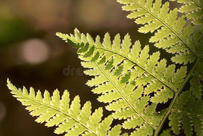 Frühlings-Farnblatt im Wald lizenzfreies stockfoto