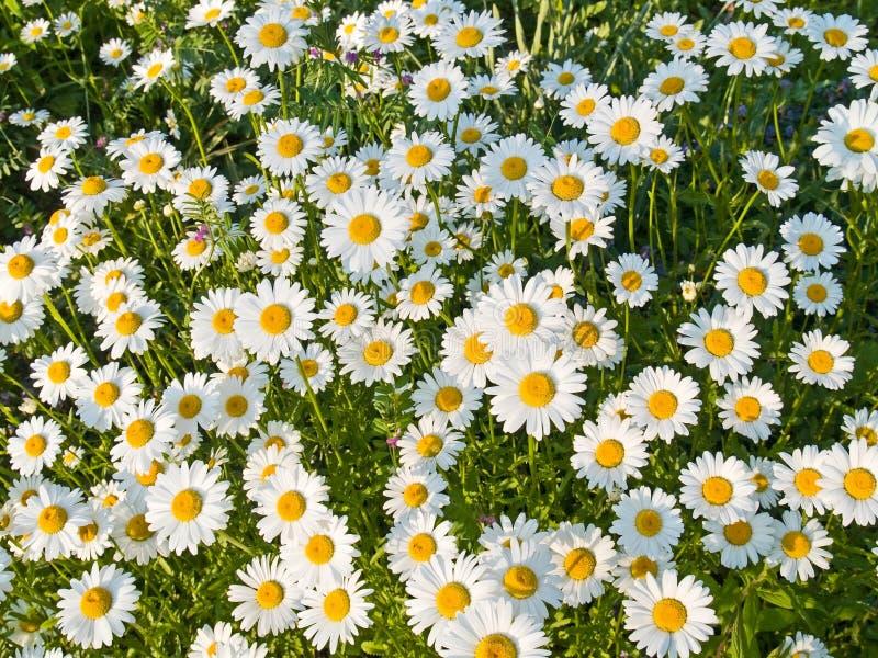 Frühlings-Gänseblümchen stockfotos