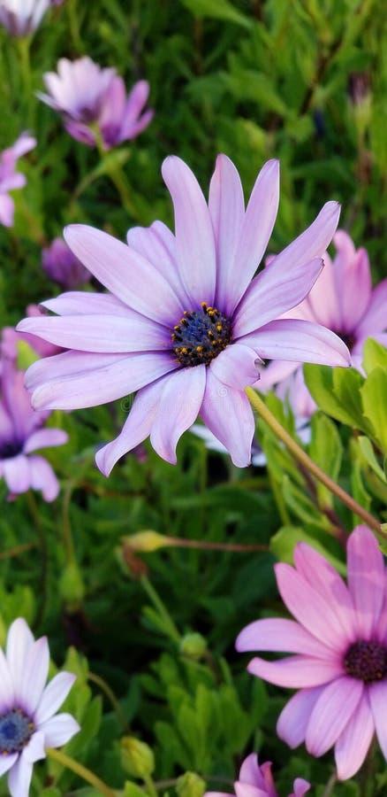 Frühlings-Gänseblümchen - Osteospermum zwei Tone African Daisies stockbild