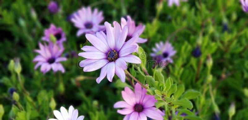 Frühlings-Gänseblümchen - Osteospermum zwei Tone African Daisies lizenzfreie stockfotos