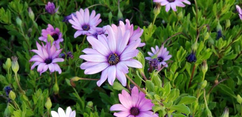 Frühlings-Gänseblümchen - Osteospermum zwei Tone African Daisies lizenzfreies stockbild