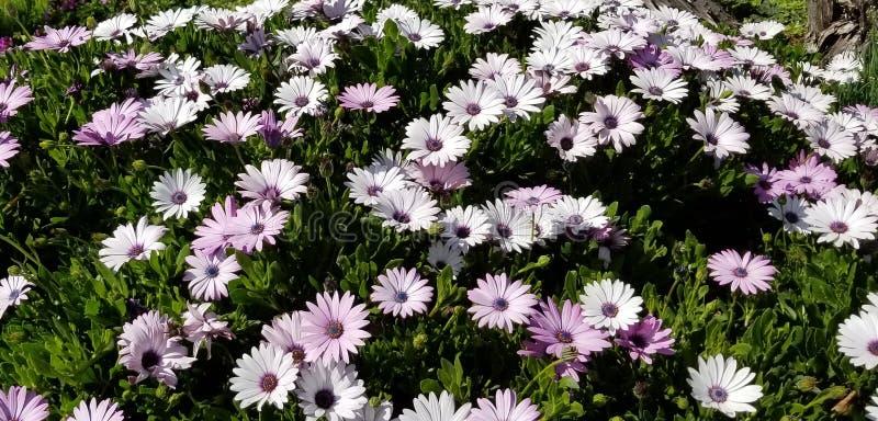 Frühlings-Gänseblümchen - Osteospermum zwei Tone African Daisies stockbilder