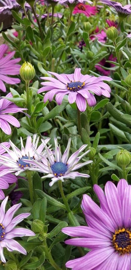 Frühlings-Gänseblümchen - Osteospermum zwei Tone African Daisies lizenzfreie stockbilder