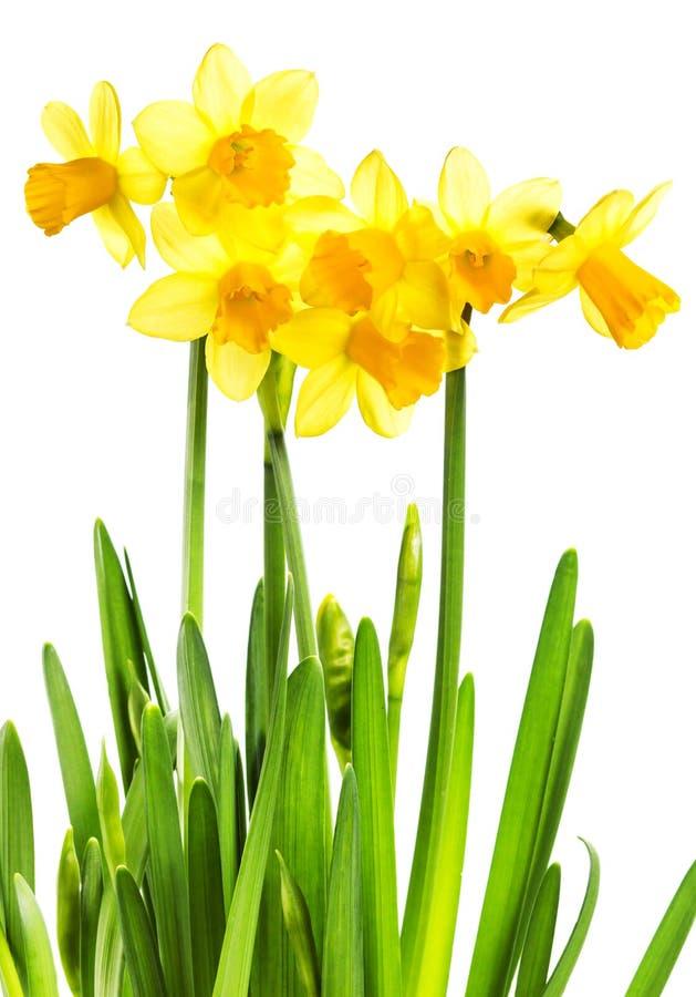 Frühlings-gelbe Blumen lokalisiert auf Weiß lizenzfreie stockfotos