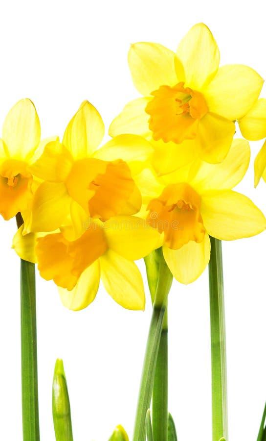 Frühlings-gelbe Blumen lokalisiert auf Weiß lizenzfreie stockfotografie