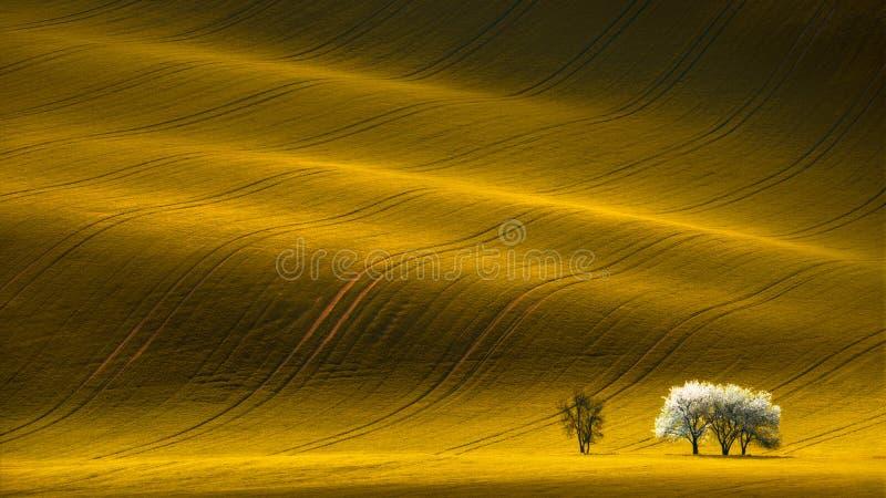 Frühlings-gewelltes gelbes Rapssamen-Feld mit weißem Baum und gewelltes abstraktes Landschaftsmuster stockbilder