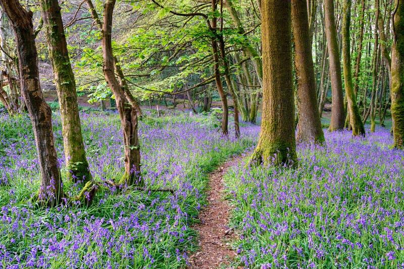 Frühlings-Glockenblume-Holz stockbilder