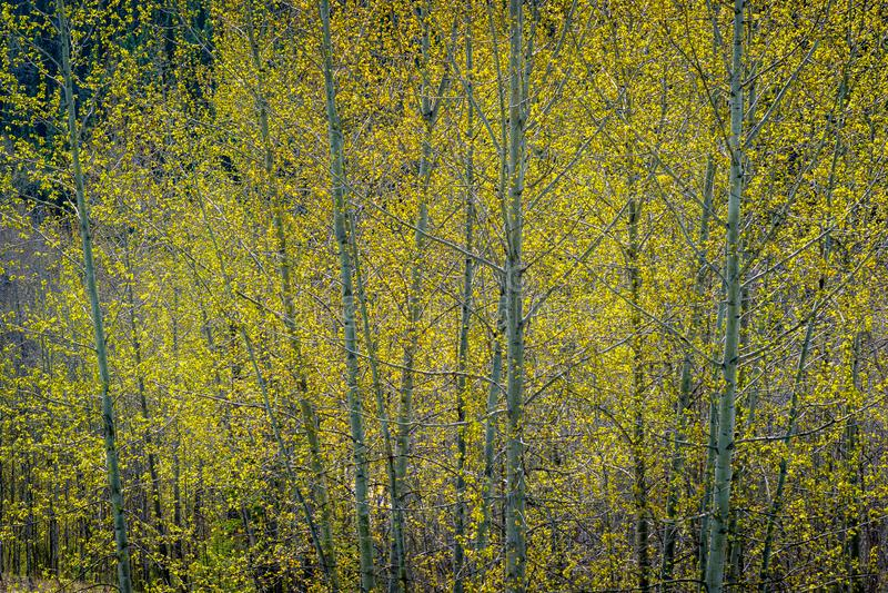 Frühlings-Grün - Pappel-Blatt-Heraus stockbild