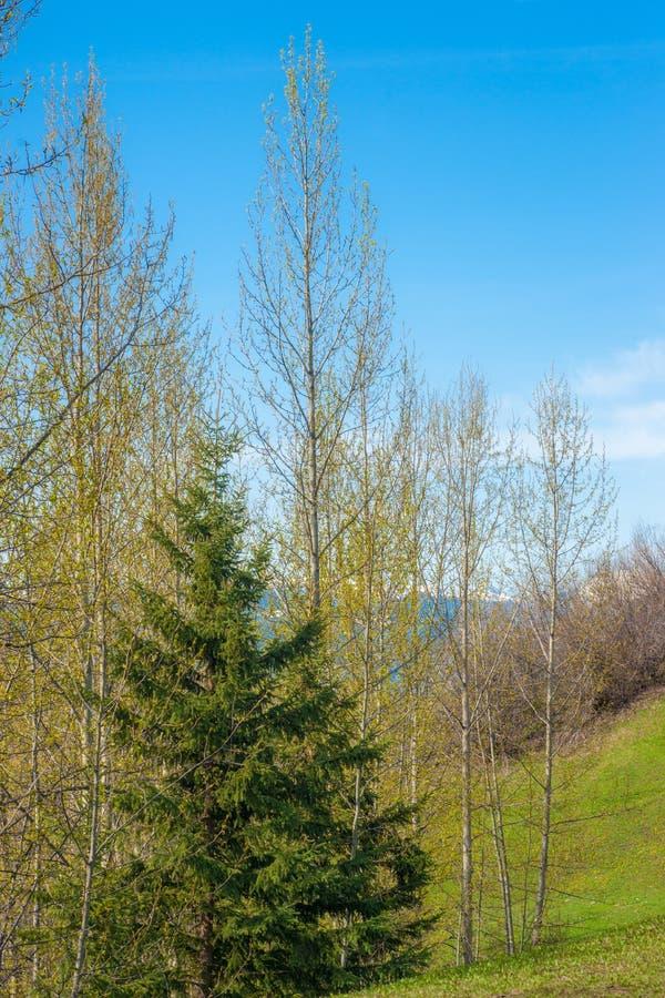 Frühlings-Grün - Pappel-Blatt-Heraus und einsame Fichte stockfotos