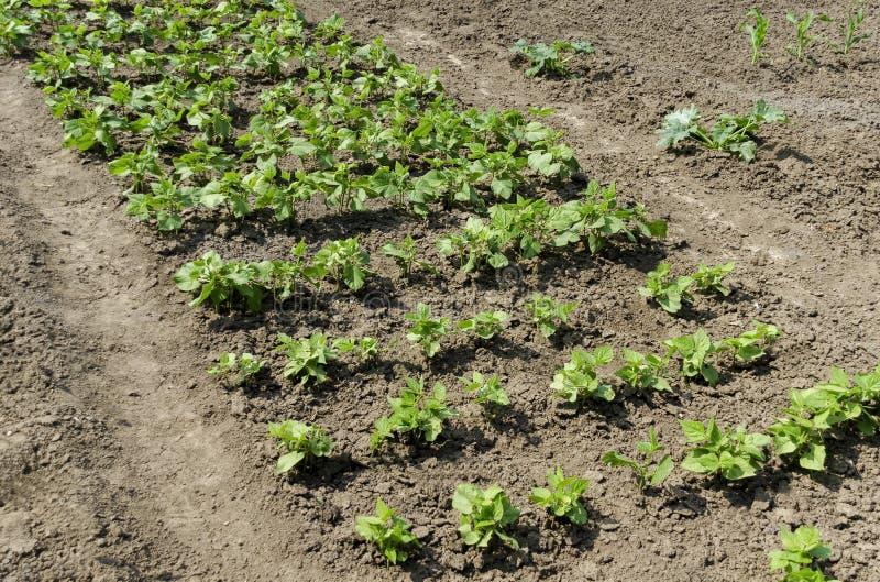 Frühlings-grüne Bohnen oder Phaseolus vulgaris, die im Gemüsegarten wachsen stockfotos