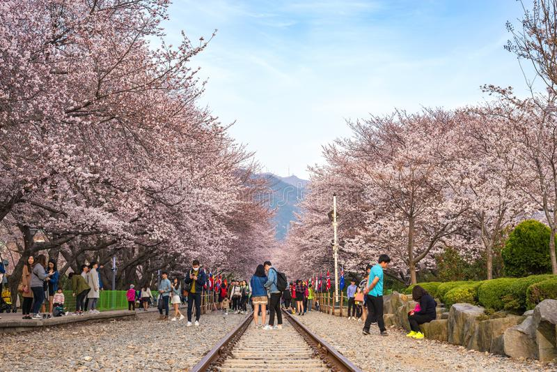 Frühlings-Kirschblütenfestival, Jinhae, Südkorea stockfotografie