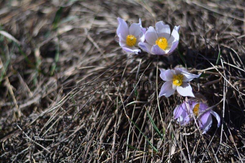 Frühlings-Krokus stockfoto