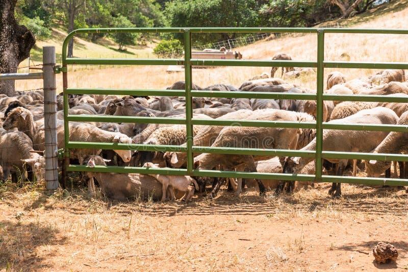 Frühlings-Lamm gedrängt, Mutter zu verbinden stockbilder